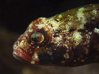 Red mouth goby, Rotmaulgrundel (Gobius cruentatus)