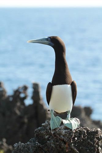 Brown booby • <a style=&quot;font-size:0.8em;&quot; href=&quot;http://www.flickr.com/photos/137365235@N06/33351364122/&quot; target=&quot;_blank&quot;></noscript>View on Flickr</a>