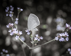 White Butterfly (that_damn_duck) Tags: nature flowers plant blossom blooming animal insect butterfly