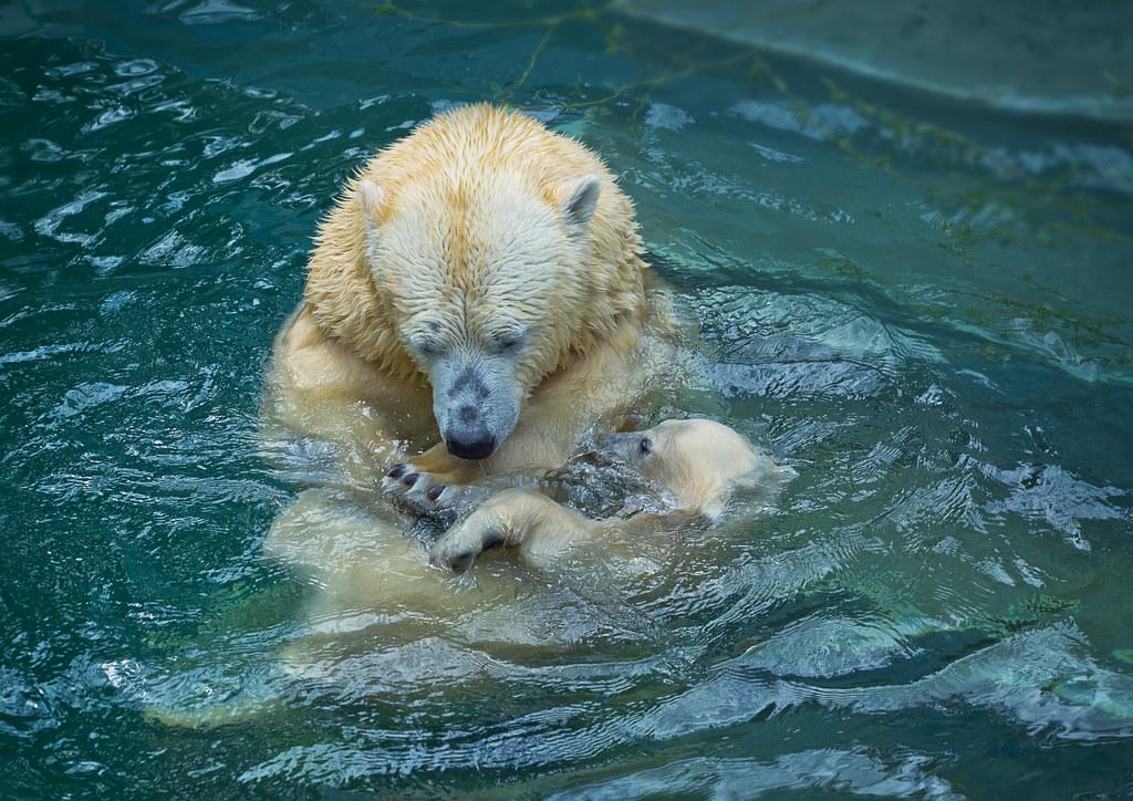 Polar bear ecology