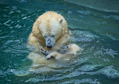 Bathing polar bears (♥Oxygen♥) Tags: animal bear mother polar cub pool zoo wild bathing mammal north motherhood peace basin love family childhood kid wildlife white happiness tenderness arctic water nature mom hug cute mum baby suckler protection mummy bath face wildbeauty sweet eco unity ecology portrait young care safety parenting lovely embrace outdoor bite play