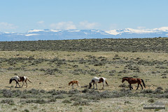 Protected Foal (kevin-palmer) Tags: cody greybull wyoming blm friendsofalegacy wild horses mustangs animals wildlife spring april sunny blue sky sagebrush bighornmountains mcculloughpeaksmustangs snowcapped nikon180mmf28 telephoto
