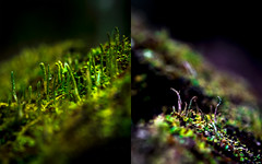 Recherche | Miniature forêt boréale (Fabrice Gaetan) Tags: forêt boréale mixte pleinair mousse miniature spores gouttes couleurs macro nikon d5 fabrice gaetan gaëtan phtographe setphotographer stillphotographer stillphotography