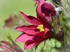 Pulsatilla vulgaris (littlestschnauzer) Tags: flower pulsatilla vulgaris rich deep red burgundy colour petals april 2017 flowering spring springtime garden macro uk