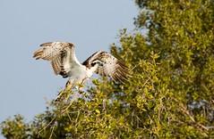 Osprey (Pandion haliaetus haliaetus) (piazzi1969) Tags: elements birds raptors birdsofprey nature wildlife iran osprey canon eos 7d markii ef100400mm bandarabbas hormozgan middleeast pandionhaliaetushaliaetus fauna