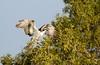 Osprey (Pandion haliaetus haliaetus) (piazzi1969) Tags: elements birds raptors birdsofprey nature wildlife iran osprey canon eos 7d markii ef100400mm bandarabbas hormozgan middleeast pandionhaliaetushaliaetus fauna jask