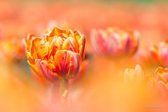 Tulip (karindebruin) Tags: colors goereeoverflakkee kleuren nederland orange oranje sommelsdijk thenetherlands tulips tulpen zuidholland koningsdag kingsday