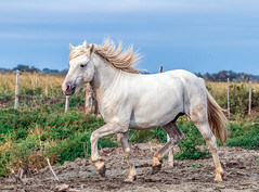 2016 Best Two Camargue Stallions (9) (maskirovka77) Tags: saintlaurentdaigouze languedocroussillonmidipyrén france languedocroussillonmidipyrénées fr stallion stallions createaway