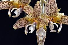 Stanhopea costaricensis 'Jills Delight' (species orchids) Tags: stanhopeacostaricensisjillsdelight species orchids plants botanical