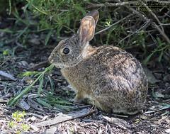 Here comes Peter Cottontail... (Patrick Dirlam) Tags: trips local botanical garden sanluisobispo cottontail rabbit