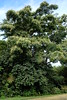 Albizia chinensis tree (J. B. Friday) Tags: albizia albiziachinensis fabaceae