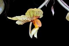 Stanhopea Tigolens  (Stan tigrina x graveolens) (species orchids) Tags: tigrinaxgraveolensstanhopeatigolens orchids plants botanical