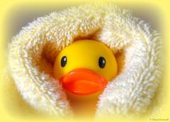 Rubber Ducky - Fresh From The Bath (zendt66) Tags: zendt66 zendt nikon d7200 nikkor 60mm 52weeks2017 yellow weekly photo theme rubber duck duckie ducky vignette