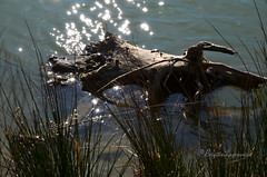 """Scintillements (Brigitte .. . """"Tatie Clic"""") Tags: 2016032126 mars printemps reflets eau leau refletsdansleau tronc herbe auborddeleau lac rivage rive berge agen boé aquitaine parcnaturelagengaronne lotetgaronne francesudouest"""