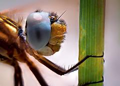 Dragonfly (Esat Sanlav) Tags: olympus olympuspen olympusep5 ep5 penep5 m43 bokeh life wild animal beetle bug dragonfly nature blue green yellow outdoor world macro stack stacking focusstack eye eyes fantastic vivitar 55mmf28 55mm f28 colored color