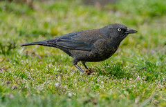 """Mystery Bird"" Rusty Blackbird (Euphagus carolinus) (AnthonyVanSchoor) Tags: rusty blackbird euphagus carolinus howardcountymd howardcountybirdclub declining species nikond7100 tamron150600mmtelephotolens birding birdphotography bird worldofanimals auto focus autofocus"