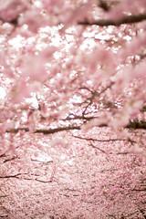 Cherry blossom (martabergamo) Tags: sakura pink cherrytrees alternativeceiling flowers copenhagen spring pastelcolours branches bokeh blossom denmark