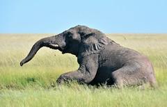 Bull Elephant wondering the Stinkwater plains of north east Etosha. (One more shot Rog) Tags: elephants elaphant trunk tusks tusker bull bullelephant namibia safari grass grasslands etosha stinkwater nature wildlife