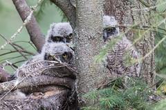 Great-horned owl (Bubo virginianus) (Tony Varela Photography) Tags: bubovirginianus greathornedowl greathornedowlnest greathornedowlet owlnest photographertonyvarela canon