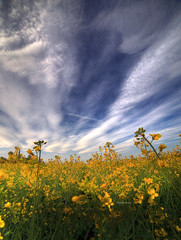 Yellow fever (Robyn Hooz (away)) Tags: ripeseed ripe seed colza giallo yellow campi fields padova nuvole clouds sky cielo blue contrasto primavera