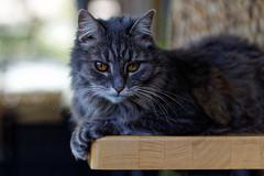 doodles t. cat (Seakayem) Tags: sony a99 fullframe slt minolta 100mm f28 belconnen canberra cat catportrait kitteh feline pet