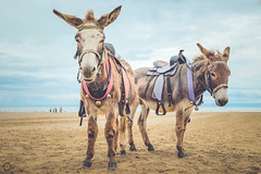 (Rhia.photos) Tags: donkey donkeys burro nature beach porthcawl wales cymru welsh sand stand standing sky blue perspective angle colour colours light color colors image photograph photography photo animal animals outdoor sliderssunday hss fujifilm fuji