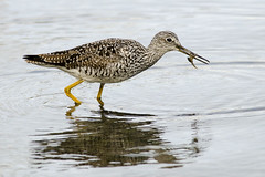 20170401 Oak Bay Lesser Yellowlegs (Robert Harwood) Tags: yellow legs yellowlegs lesser bird shorebird wading crab food feeding victoria vancouverisland britishcolumbia canada oakbay