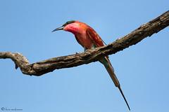 Southern Carmine Bee-eater (leendert3) Tags: southerncarminebeeeater southafrica krugernationalpark nature wildlife leonmolenaar ngc npc