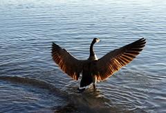 Sun Salutation Yoga (malgor13) Tags: sunrise yoga sun salutation ontario bird goose morning lake strech wings feathers spring