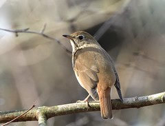 Hermit Thrush (hd.niel) Tags: hermit thrush birds wildlife nature songbird