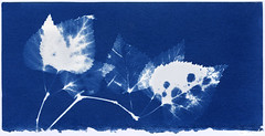Betula papyrifera (R. Drozda) Tags: fairbanks alaska cyanotype photogram sunprint solarenergy birch leaf twig branch betulapapyrifera blue alternativeprocess bleached drozda