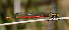 Large Red Damselfly,immature male.Bouldnor,Yarmouth,IOW. (MARMARI Dragonflies) Tags: infocus highquality