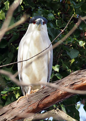 Black-crowned Night Heron (Songbill) Tags: blackcrownednightheron forestpark stlouismo nycticoraxnycticorax