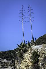 IMG_3420 (ibzsierra) Tags: ibiza eivissa baleares canon 7d 24105isusm planta pitrera cielo azul blue sky acantilado