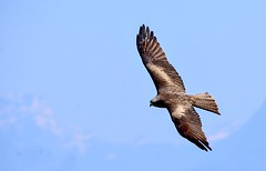 Buse variable (Diegojack) Tags: saintprex vaud suisse oiseaux vol buses