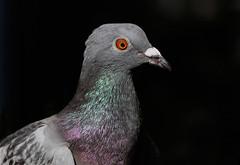 Feral Pigeon --Columba livia domestica (creaturesnapper) Tags: pigeons birds uk europe columbaliviadomestica feralpigeon