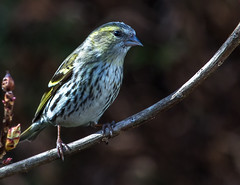 fgemale siskin (1 of 1)