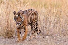 091 Day 2 Tigers (brads-photography) Tags: headon india male nationalpark pacman pantheratigristigris rajasthan ranthambore royalbengaltiger sawaimadhopur t85 tiger tigerreserve walking wildlife