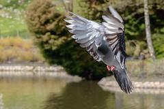 Pigeon in flight (iancooper6) Tags: pigeon flight animal nature outdoors wildlife bird queenspark