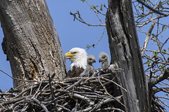Mamma and her little ones (jc-pics) Tags: nikon d500 nikkor 200500mm birds bald eagle nature wildlife
