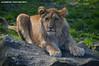 African male lion cub - Olmense Zoo (Mandenno photography) Tags: dierenpark dierentuin dieren animal animals belgie belgium bigcat big cat cub lion lions leeuw leeuwen lioncub leeuwtje olmense olmensezoo olmen balen