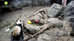 2017_04-10i (gkoo19681) Tags: beibei tubplay undecided fuzzywuzzy adorableears toocute wetfeet stubborn ccncby nationalzoo