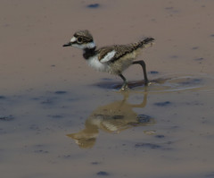 Killdeer chick (AllHarts) Tags: killdeerchick northplant memphistn naturescarousel