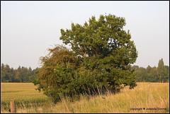Baum im Spätsommer (Jolanda Donné) Tags: baum laubbaum alleinstehenderbaum spätsommer abend altikonhertenkantonzürich ostschweiz schweiz 11august2015 nikoncoolpixp610
