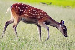 (winterprinzessin89) Tags: deer summer sommer outdoors wildlife tiere nature natur nikon d3200 photographie photography fotografie photografie photo