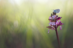 Observatoire (donlope1) Tags: flower nature flora blur wild orchis orchid purpurea butterfly papillon insect proxi macro bokeh sunrise morning spring