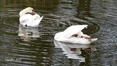 Working on their beauty. (Cajaflez) Tags: waterbird watervogel bird vogel zwanen swans water reflections reflecties spiegelingen