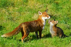 The Look Of Admiration (Michelle O'Connell Photography) Tags: fox urbanfox foxcub vulpes nature wildlife britishwildlife wildfox redfox redfoxkit michelleoconnellphotography