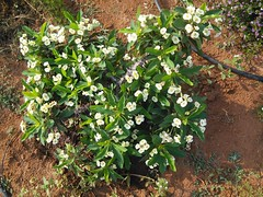 Euphorbia milli - Crown of Thorns (ಶಾಂತಿ ಧಾಮ - Shānti Dhāma) Tags: indigenousplants treeplanting shantidhama shanthidhama medicinalplants euphoriamilli crownofthorns euphoriamillidwarf euphoriawhiteflowers flowersofindia flowersofbangalore flowersofkarnataka smallwhiteflowers whiteflowers euphoriamilliflowers euphoria flower wwwshantidhamain challahalli chellahalli hesaraghatta doddaballapura haniyoor haniyuru sonnenahalli karlapura trees flowers reforestation leaves karnataka india afforestation life
