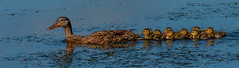 Floating with Mama (cetch1) Tags: mallardducklings birding wild wildlife nature californiabirding duckling ducks lasgallinas babyduck